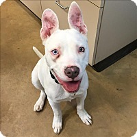 Adopt A Pet :: Maya - Riverside, CA