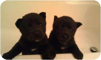 Siberian Husky/Chow Chow Mix Puppy for adoption in Bakersfield, California - Jill
