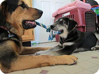 Husky/Shepherd (Unknown Type) Mix Puppy for adoption in Surrey, British Columbia - Lola