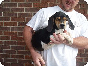Beagle/Coonhound (Unknown Type) Mix Puppy for adoption in Germantown, Maryland - Bonnie(Female) and Clyde(male)