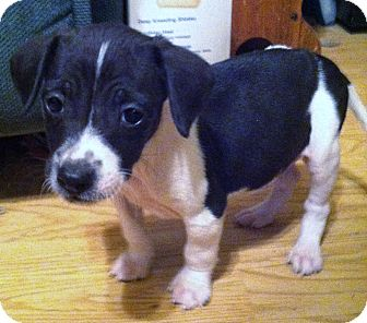 ... | Adopted Puppy | Indian Trail, NC | Jack Russell Terrier/Feist Mix
