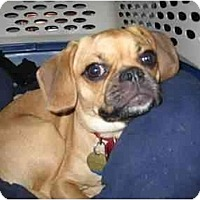 Adopt A Pet :: Millie - PUGGLE - Toronto/Etobicoke/GTA, ON