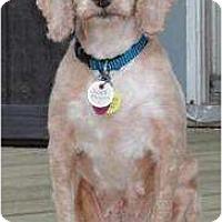 Adopt A Pet :: Carmen - Rigaud, QC