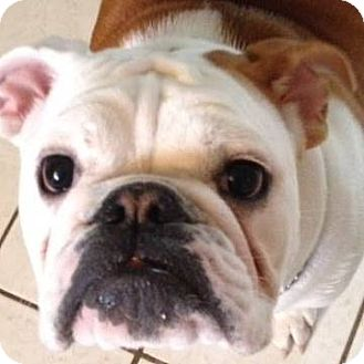 english bulldog rescue ohio strongsville oh english bulldog meet murphy a dog for 4631