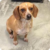 Adopt A Pet :: Bea - Brattleboro, VT