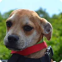 Adopt A Pet :: Brad Pitt - Meet Him!! - Norwalk, CT
