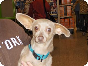 Chihuahua/Terrier (Unknown Type, Medium) Mix Dog for adoption in Fresno, California - Ding