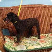Adopt A Pet :: Bella - Tulsa, OK