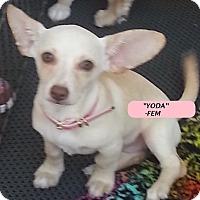 Adopt A Pet :: Yoda-Fem - El Cajon, CA