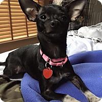 Adopt A Pet :: Mel - Troy, MI