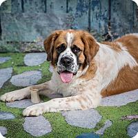 Adopt A Pet :: Willow - Glendale, AZ
