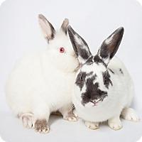 Adopt A Pet :: Tribble - Los Angeles, CA