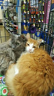Domestic Mediumhair Cat for adoption in Alhambra, California - Stimpy
