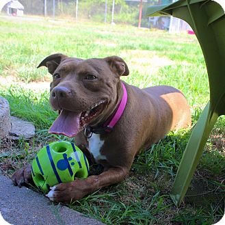 Pit Bull Terrier Mix Dog for adoption in North Kingstown, Rhode Island - Maizy