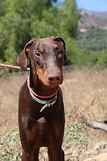 Doberman Pinscher Dog for adoption in Fillmore, California - Obi