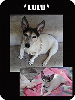 Jack Russell Terrier Dog for adoption in Madison, Alabama - Lulu