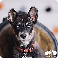 Adopt A Pet :: Maxxi - Portland, OR