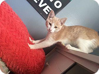 Domestic Shorthair Kitten for adoption in Madisonville, Louisiana - Cyrus