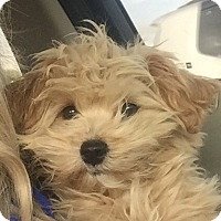 Adopt A Pet :: Cinnamon Bun - San Marcos, CA