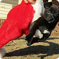 Adopt A Pet :: Stitch - greenville, SC