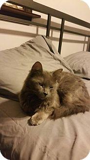 Domestic Mediumhair Cat for adoption in Middlebury, Connecticut - Chloe