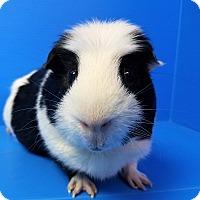 Adopt A Pet :: Jabberwocky - Lewisville, TX