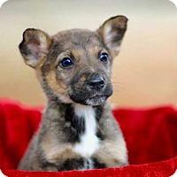 Adopt A Pet :: PUPPY SIERRA - Norfolk, VA