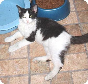 Domestic Longhair Cat for adoption in Glendale, Arizona - Jacob