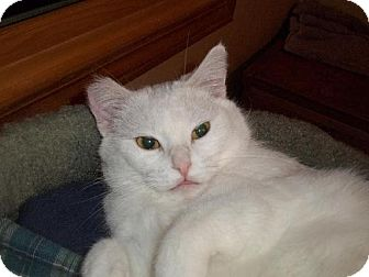 Domestic Shorthair Cat for adoption in Eldora, Iowa - Snowy/Courtesy listing