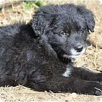 Adopt A Pet :: Sasha - New Boston, NH