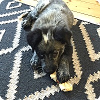 Adopt A Pet :: *Garrison - PENDING - Westport, CT