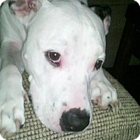 Pit Bull Terrier Mix Dog for adoption in Tampa, Florida - KING (JW)