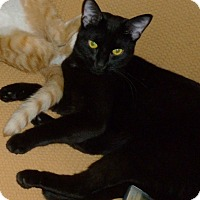 Adopt A Pet :: Sylvester- good companion cat - Royal Oak, MI