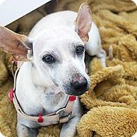 Adopt A Pet :: Shiva - Houston, TX