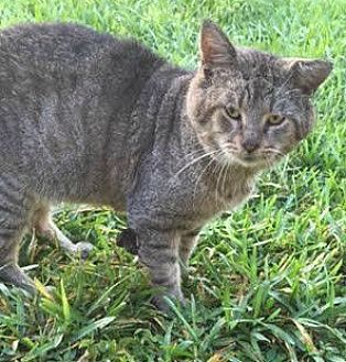 Domestic Shorthair Cat for adoption in Sunny Isles Beach, Florida - Papa
