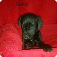 Adopt A Pet :: Sosa - Chester, IL