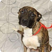 Pit Bull Terrier Mix Dog for adoption in Greensboro, North Carolina - Bo