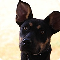 Doberman Pinscher/Shepherd (Unknown Type) Mix Dog for adoption in Las Cruces, New Mexico - Ellie