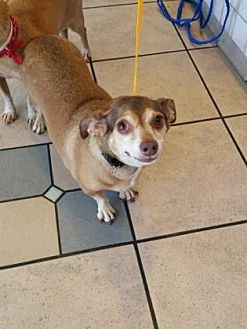 Dachshund Mix Dog for adoption in Scottsdale, Arizona - Lady4