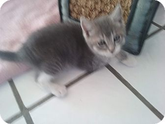 Domestic Mediumhair Kitten for adoption in El Cajon, California - Pimienta