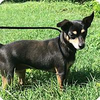 Adopt A Pet :: Guinevere - Scranton, PA