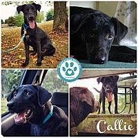 Adopt A Pet :: Callie - Kimberton, PA