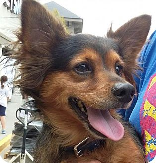 Papillon/Dachshund Mix Dog for adoption in Winder, Georgia - Harley