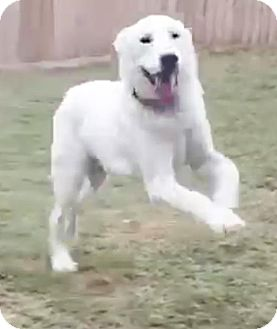 Great Pyrenees/Labrador Retriever Mix Dog for adoption in Enfield, Connecticut - Cimmaron