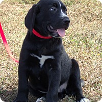 Great Dane/Labrador Retriever Mix Puppy for adoption in Waterbury, Connecticut - chevy/ADOPTED