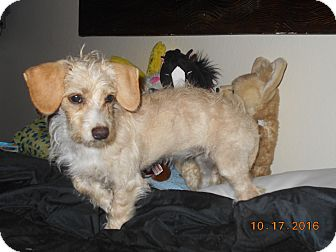 Dachshund Mix Puppy for adoption in haslet, Texas - pilot
