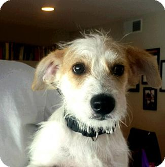 Terrier (Unknown Type, Medium)/Jack Russell Terrier Mix Puppy for adoption in Dana Point, California - Winston