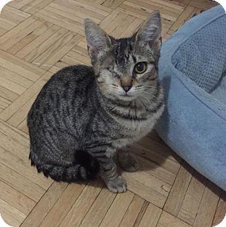 Domestic Shorthair Kitten for adoption in New York, New York -  Charmaine