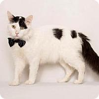 Turkish Van Cat for adoption in Westlake, California - VALENTINO