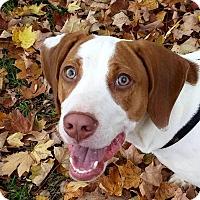 Beagle/Labrador Retriever Mix Dog for adoption in Salamanca, New York - Blue